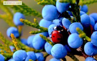 Можжевельник лечебные свойства ягод и корней, противопоказания, состав, виды