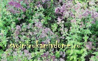 Орегано — пряность и лекарственное растение: фото, описание, состав