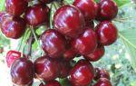 Полезные свойства черешни, отличие от вишни