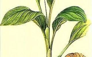 Куркума: фото и описание специи, состав