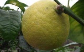 Бергамот: описание, фото, состав, калорийность