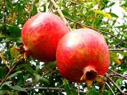 Какие фрукты попробовать в Греции Какие фрукты растут в Греции, сезон дозревания, стоимость