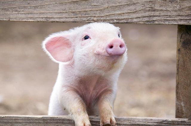 Почему евреи не едят свинину – перечень продуктов, которые нельзя есть в Израиле