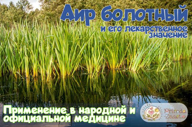 Аир болотный целебные свойства корня, применение и лечение