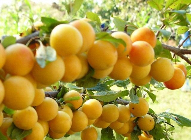 Алыча: фото, описание ягоды, состав, калорийность, полезные свойства и вред