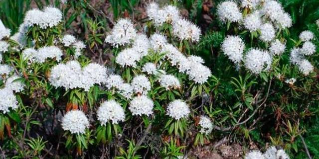 Багульник болотный полезные свойства и противопоказания, применение в народной медицине