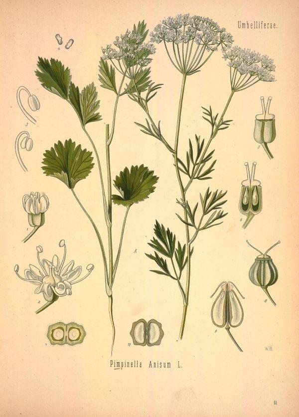 Анис обыкновенный: полезные свойства и состав, описание и его применение