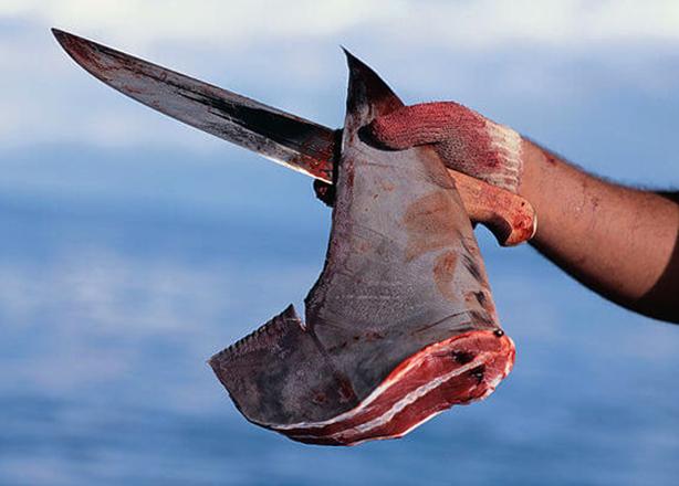 Мясо акулы: состав, польза и вред