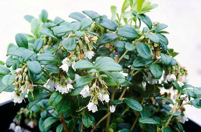 Листья и ягоды брусники: состав, калорийность, применение в медицине