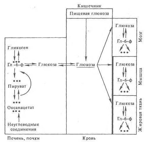 Регуляция обмена углеводов в организме человека: гормоны и ЦНС