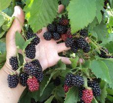 Ежевика: описание ягоды, фото, состав, калорийность, полезные свойства