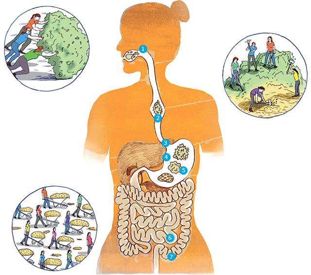 Работа кишечника: особенности и управление им