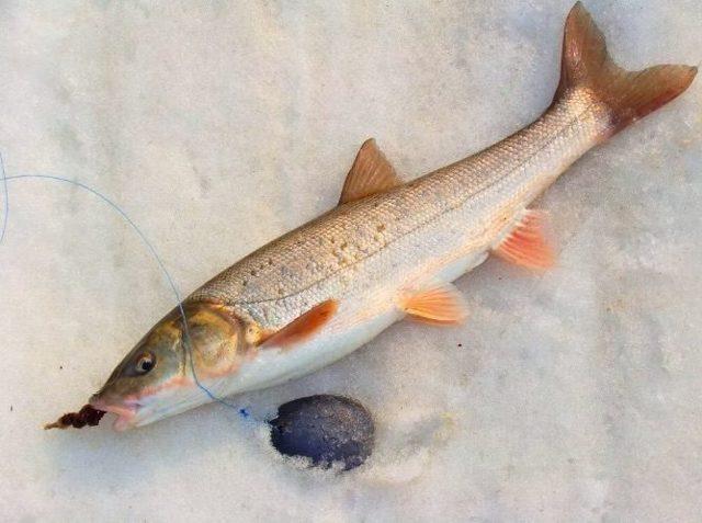 Навага: описание рыбы, фото, состав, калорийность