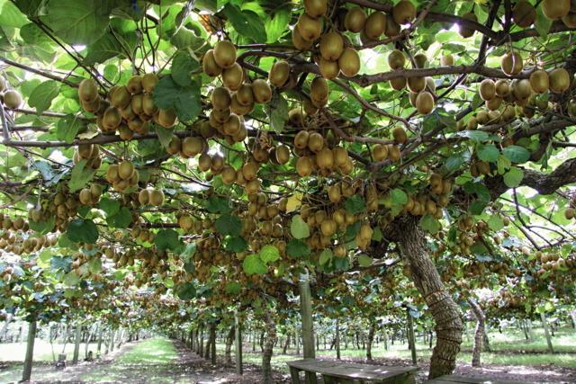 Киви: фото и описание фрукта, состав, калорийность, полезные свойства и вред