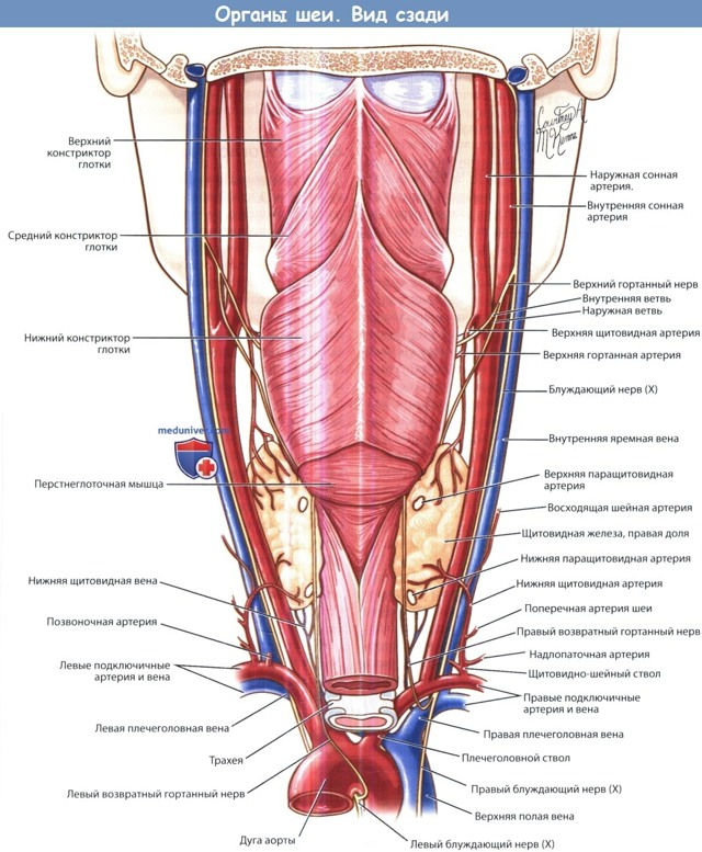 Связь пищевода и дыхательных путей человека, функции глотки