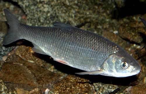 Жерех: фото, описание рыбы, состав и калорийность, полезные свойства и вред