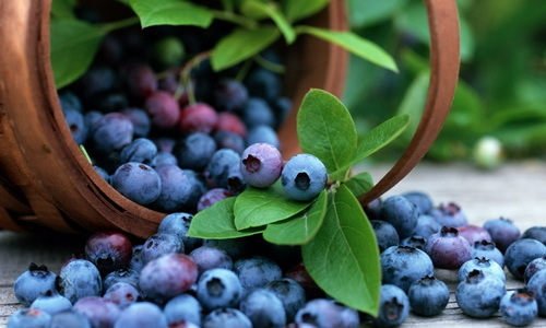 Голубика: описание ягод, фото, состав, калорийность, полезные свойства