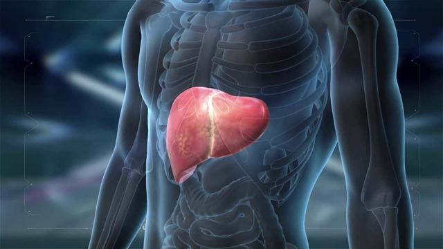 Функции печени в организме человека