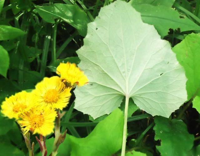 Мать и мачеха полезные свойства и противопоказания цветов и листьев, описание, фото