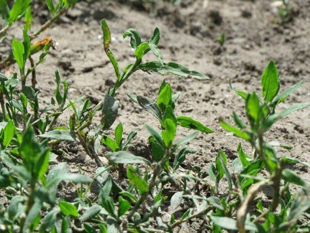 Лекарственное растение горец птичий лечебные свойства описание фото
