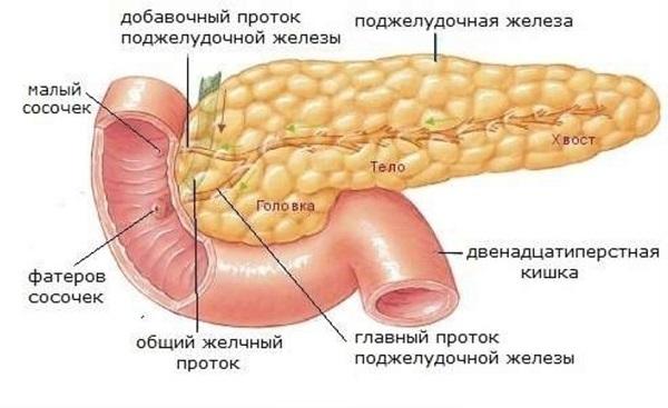 Особенности и отличия пищеварительной системы человека