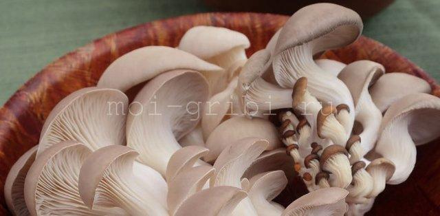 Свежие и сушеные грибы вешенки польза и вред для организма человека