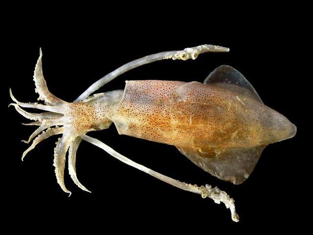 Кальмар: фото, описание, состав и калорийность морепродукта, полезные свойства и вред