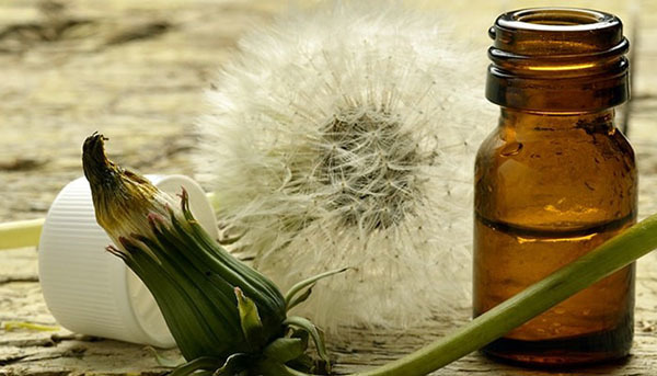 Одуванчик: фото, описание, состав, полезные свойства, применение в медицине