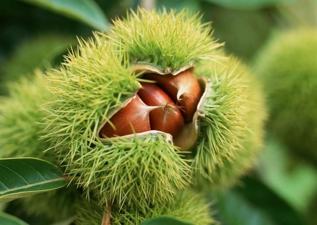 Каштан, орехи каштанов: описание, фото, состав, калорийность