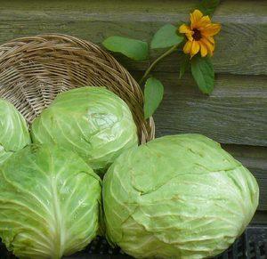 Капуста: описание, фото, состав, калорийность овоща, полезные свойства