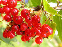 Красная смородина: состав, калорийность, углеводы, витамины