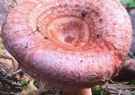 Гриб волнушка розовая: состав, польза и вред, как выглядит