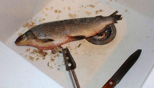 Сиг: фото, описание рыбы, состав и калорийность, полезные свойства и вред