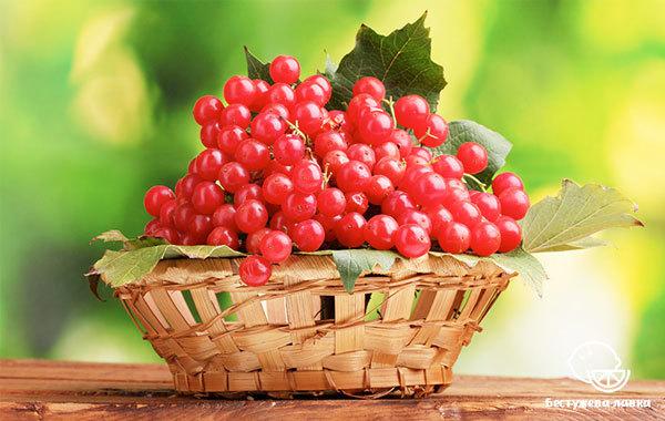 Калина: состав, калорийность, описание, полезные свойства
