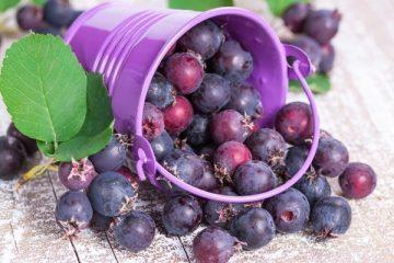 Ирга: описание, фото, состав, калорийность, витамины, полезные свойства ягод