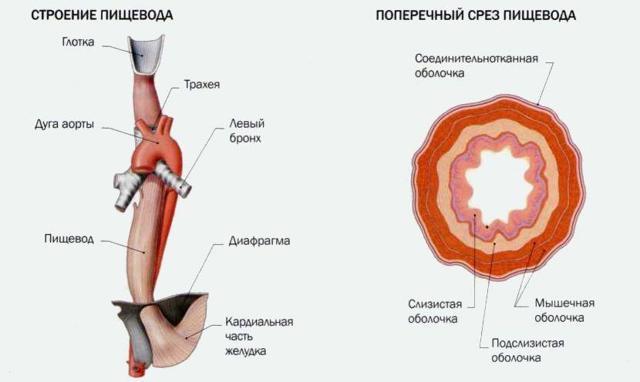 Пищеварительный тракт человека: функции и специфика