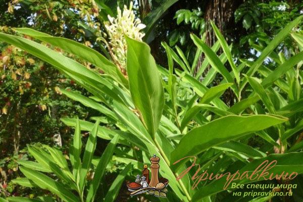 Галангал: фото и описание пряности, состав. Полезные свойства и вред галангала