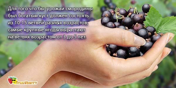 Черная смородина: состав, калорийность, витамины, полезные свойства