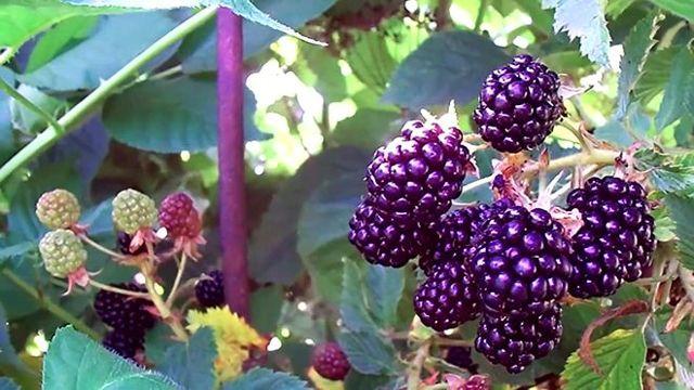 Ежевика: состав, полезные свойства ягод и листьев