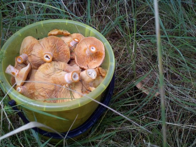 Рыжики - грибы: описание, фото, состав, калорийность