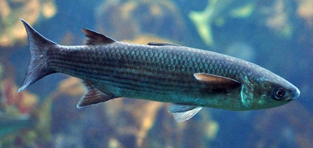 Кефаль: описание рыбы, фото, состав, калорийность. Полезные свойства кефали