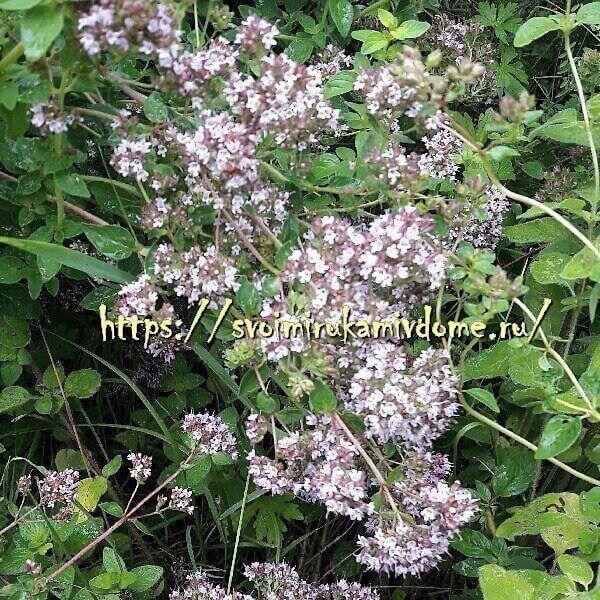 Орегано - пряность и лекарственное растение: фото, описание, состав