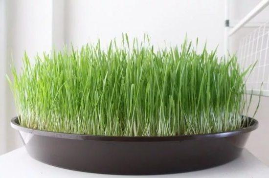 Как правильно прорастить пшеницу в домашних условиях для еды