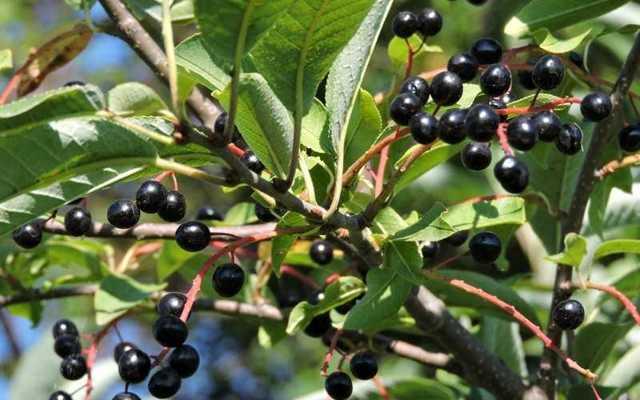 Черемуха: полезные свойства и противопоказания, состав ягод черемухи