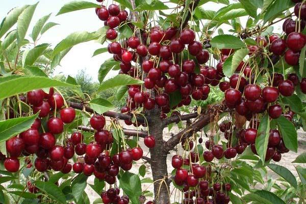Полезные свойства и вред вишни для организма человека