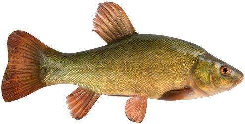 Линь: описание рыбы, фото, состав, калорийность, полезные свойства