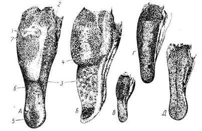 Строение ротовой полости человека: функции и роль отдельных органов