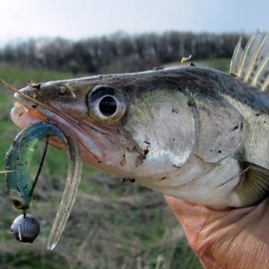 Судак: фото, описание рыбы, состав и калорийность, полезные свойства и вред