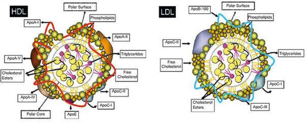 Липопротеиды – главные переносчики холестерина