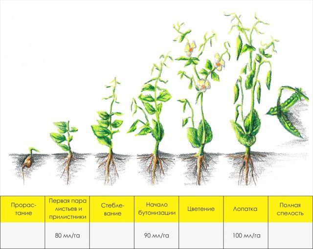 Лучшие сорта гороха: состав и полезные свойства